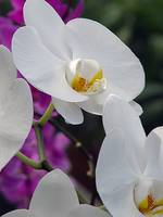 Orchid,Beautiful and Splendid