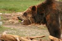 Grizzly and an Apple
