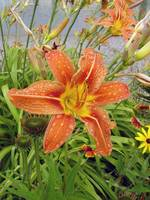 Lily in Flower