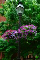 Purple Flowers on Lamp Post
