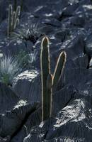Cactus in limestone_RS0033