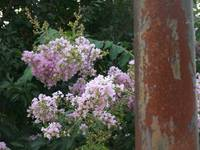 Crepe Myrtle and Post