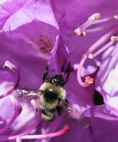 Bee on purple flower 2