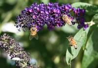 Bees on purple butterfly bush.