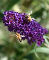 Bees on purple butterfly bush 2.