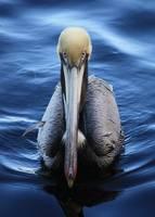 Pelican in Water by Carol Groenen