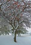 Crabapple in The Snow 2