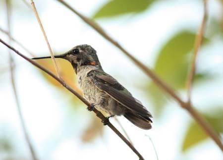 Closeup of Cute Hummingbird