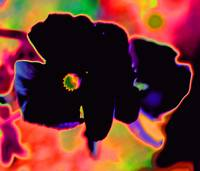 Black Pansies        Pink Abstract Edit