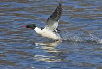 Common Merganser Taking Off in Flight
