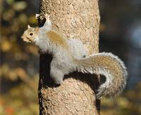 Eastern Gray Squirrel Climbing Tree