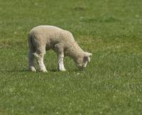 Lamb Grazing in Grassy Field