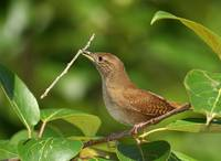 House Wren With Stick