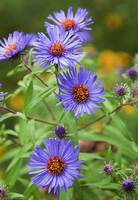 Purple Asters by Michael Stephen Wills