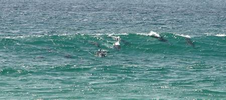 Twelve dolphins surfing, Pottsville, NSW