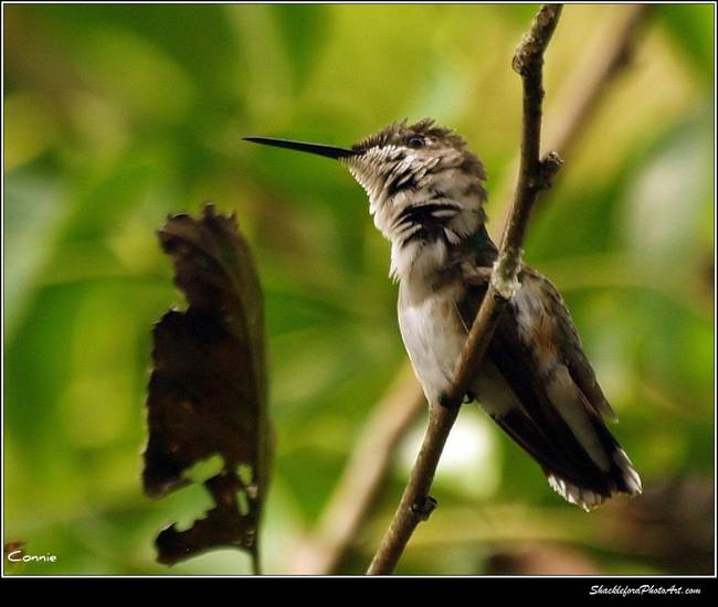 Hummingbird Shudder