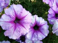 Purple Petunias Closeup
