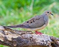 BI009 - Mourning Dove