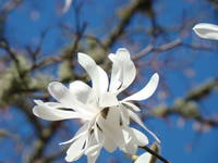 Fine Art Prints White Magnolia Flower Blue Sky