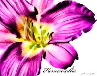 Purple Dalylily (Hemerocallis)