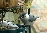 Nuthatch Finds a Nut