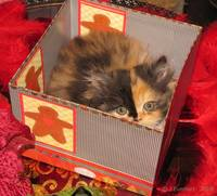 Calico Kitten IN THE BOX VERY CUTE