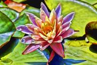 Rainbow Water Lily