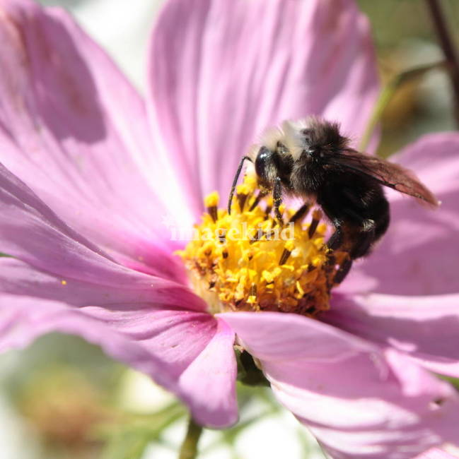 Bee on Purple Cosmo