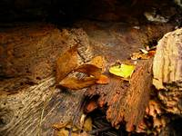 Rotted log and leaves