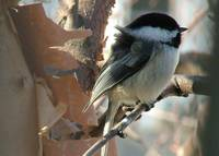 Windy Chickadee