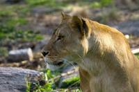 Lioness Looking Left
