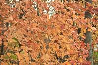 Pale Orange Leaves