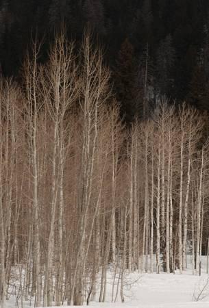 Aspens, Duck Creek, Utah