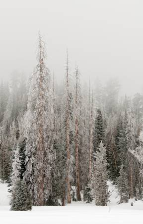 Frozen Fir Trees,Utah