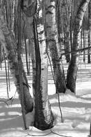 Birch Trees Forming a Pair of V's