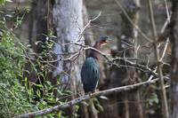 Green Heron mouth