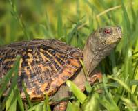 MR002 - Box Turtle