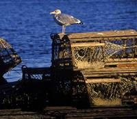 Seagull perched on traditional wooden lobster trap