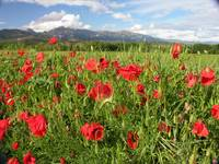 Poppies and the Pyrenees