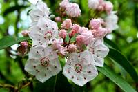 Mountain Laurel Blooms and Buds