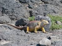 Land Iguana on Galapagos