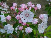 Mountain Laurel in Spring