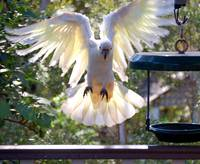 Cockatoo landing_0574