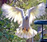 Cockatoo landing_0573a