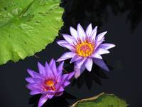 Purple Waterlily IMG_0009A