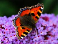 Small Tortioseshell Butterfly (Aglais urticae)