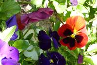 Pansy of a Different Colour