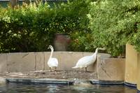 Swans in Paradise