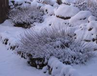 Lavender in a Blanket of Snow