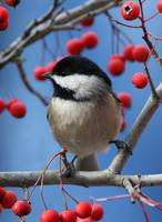 Carolina Chickadee - Perched on Branch 2